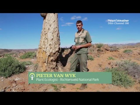 The Quiver tree in the Richtersveld