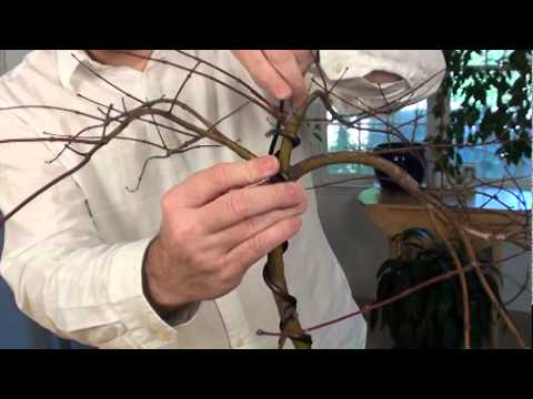 winter wiring of a japanese maple youtube rh youtube com Wisteria Bonsai Wisteria Bonsai