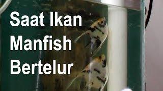 vuclip Bagaimana Ikan Manfish Mengeluarkan Telur dan Dibuahi Jantan