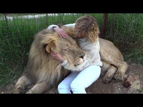 ЧУМОВОЕ САФАРИ 2 Лев Марсель, как большой кот! Crazy Safari !!! Lev Marcel is a big and gentle cat!