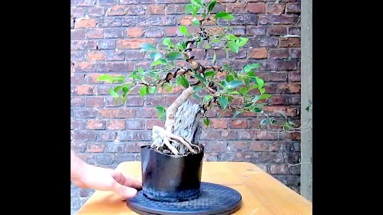 ficus microcarpa root over rock bonsai after wiring youtube rh youtube com Bonsai Shapes wiring bonsai roots