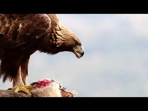 Golden Eagle Iruelas valley, Spain