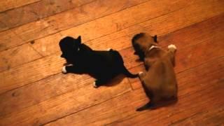 Joseph, Elizabeth, & New Puppies (schweenies- Dachshund And Shih Tzu Mix)