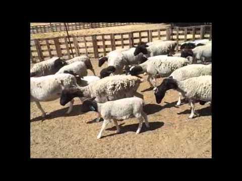 RLMS 2012-159A Mt Hampden 39+8 Ewes & lambs