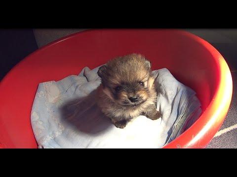Сегодня 24 дня после рождения щенка. Наша Бэтти. Малый шпиц.