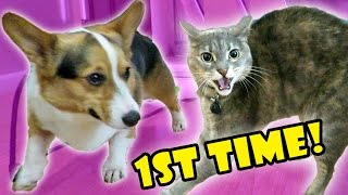 corgi-dog-meets-angry-cat-fail-life-after-college-ep-522