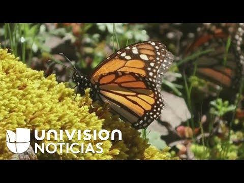 mariposas-monarcas-llegan-a-los-bosques-de-michoacán,-méxico,-para-hibernar