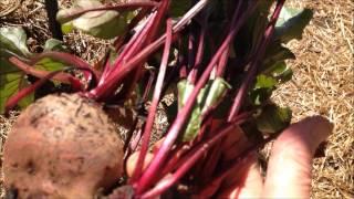 Garden beet tips- 9- 23 -14