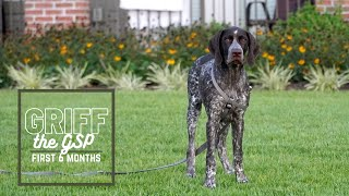 Our GSP (Griffin) 8 Weeks to 6 Months