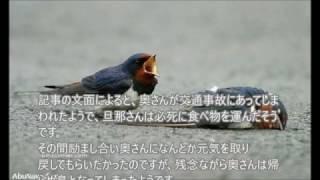 2012年にフランスで話題になったツバメの夫婦のお話です。日本でもツバ...
