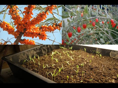 Unusual Fruit: Starting Goji and Sea Buckthorn from Seed