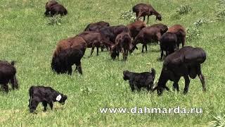 Гиссарские овцы -  отары Ходжи Мирзокарима после окота на промежуточном пастбище в Гиссарском районе