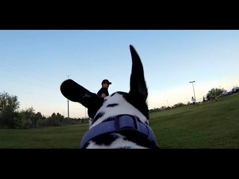 Dog Park Dalmatian Cam:  GoPro Fetch Harness