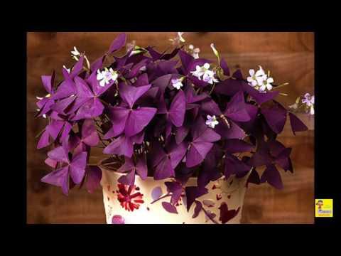 домашний цветок оксалис уход в домашних условиях фото