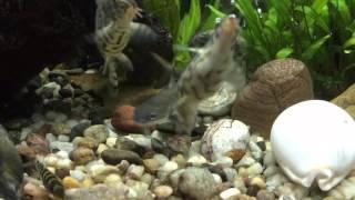 36 gallon bowfront aquarium freshwater fish tank update