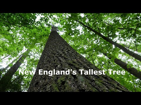 New England's Tallest Tree