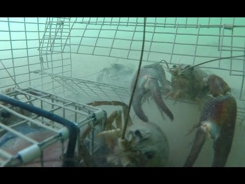 GoPro - Trapping Huge Crayfish Underwater Crawfish Crawfishing
