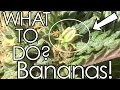 What To Do About Bananas On A Marijuana Plant
