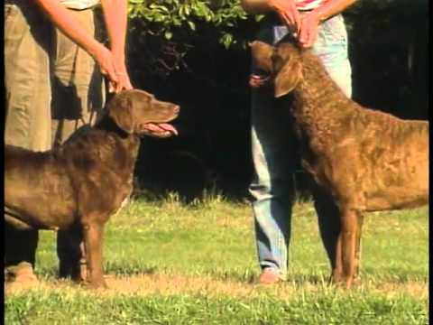 Retrievers Overview - AKC Dog Breed Series