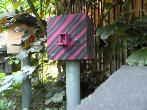 Baumhummel reagiert aufgeregt bei Nestkontrolle