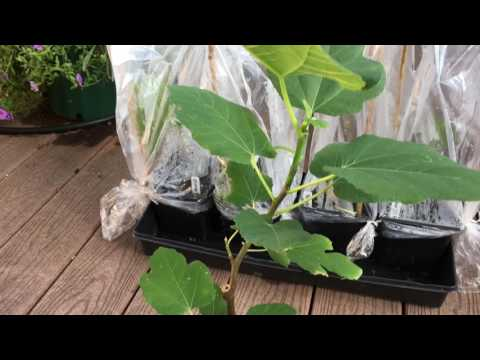How to Clone Your Own Organic Fig Trees From Your Local Organic Farm Part 3. The Fig Mistake!