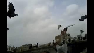 Yasir Baloch Pigeon