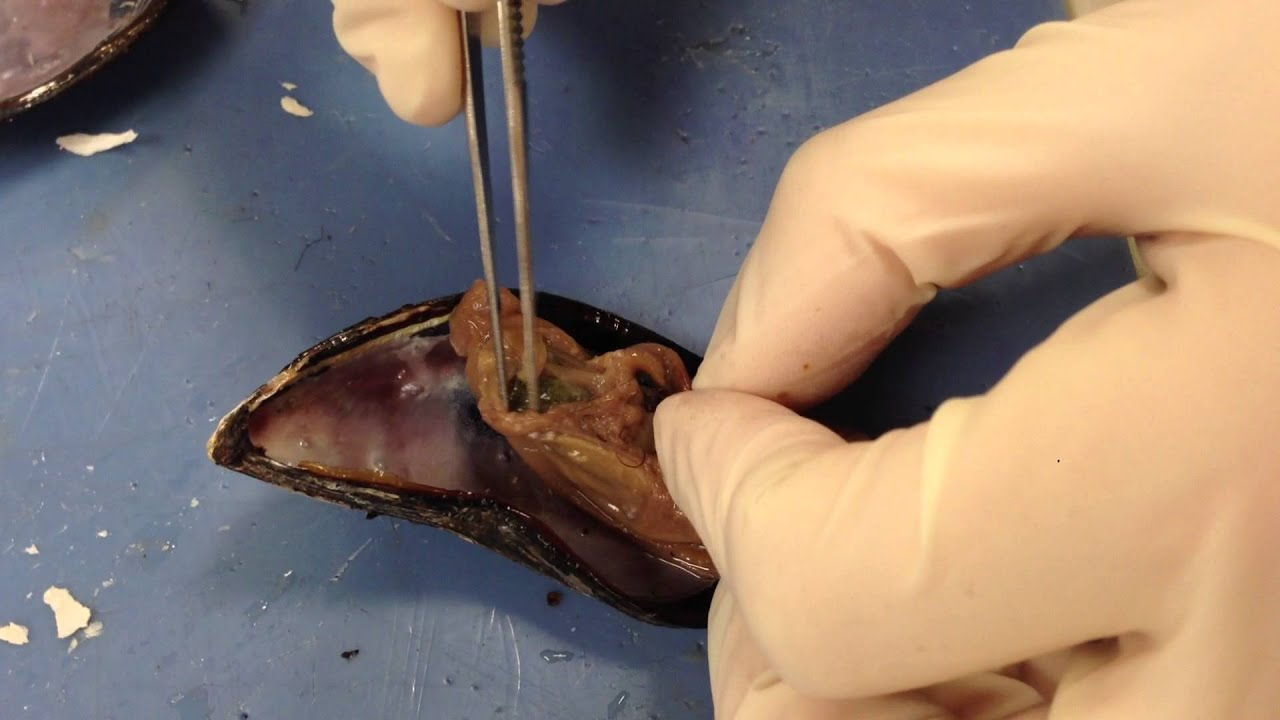Mussel Dissection- Coe - YouTube