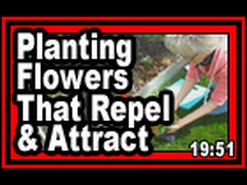 Flowers That Repel And Attract - Wisconsin Garden Video Blog 608