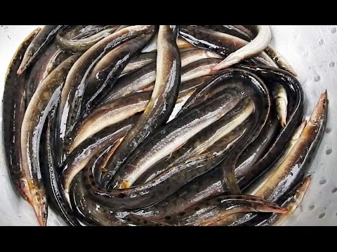 Peacock Eel Fish Caught Noodling | Tire Track eel Fish | Zig Zag Eels Fishes | Peacock Eels Fishes