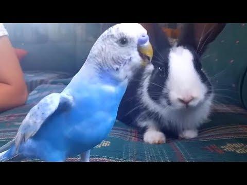 Muhabbet Kuşu Canın Tavşana Tepkisi - HB