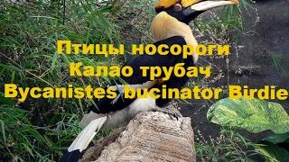 Птичка.Птицы носороги Калао трубач  Bycanistes bucinator Birdie
