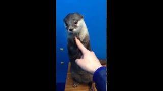 수달 달봉이 인사/otter/カワウソ
