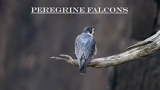 One Great Day with Peregrine Falcons