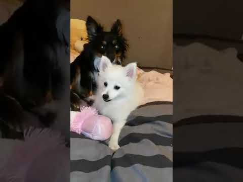 FUNNY VIDEO DOG STEALS AND CHOKES ON MY PAPER