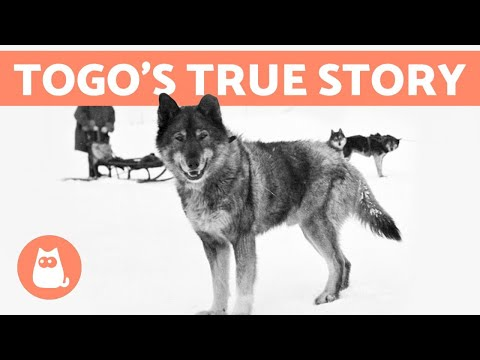 The REAL STORY of BALTO and TOGO 🐺❄️ Discover the Truth!