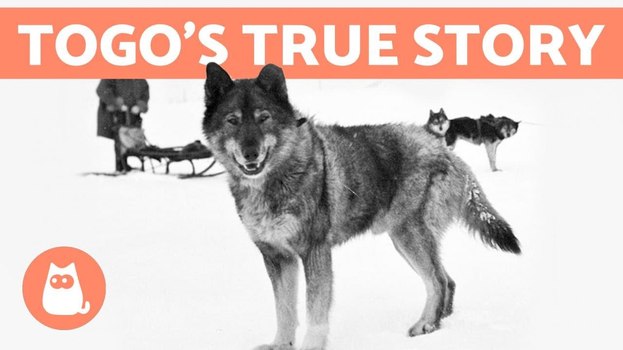 Download The REAL STORY of BALTO and TOGO 🐺❄️ Discover the Truth!