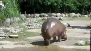 Huge hippo fart!