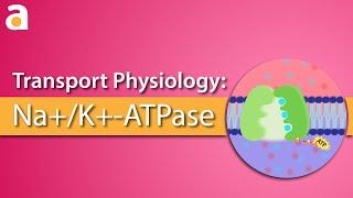 Transport Physiology: Na+/K+-ATPase (Sodium Potassium Pump)