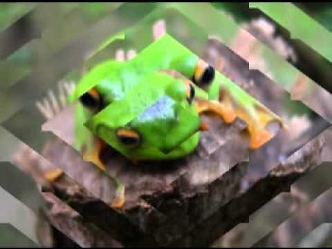 莫氏樹蛙 - YouTube