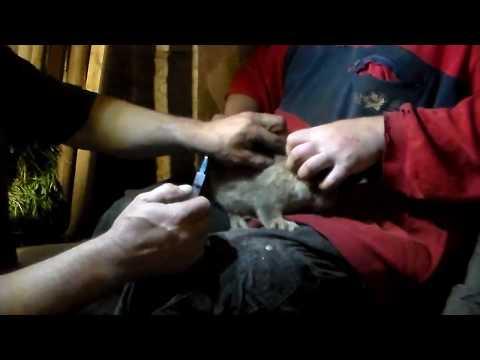 Вопрос: Что представляет собой вирусная геморрагическая болезнь кроликов (ВГБК)?