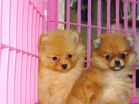 pomeranian georgia pomeranian puppies dogs for sale in columbus macon 9529