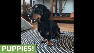 Mini dachshund performs array of adorable tricks