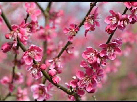 Prunus mume 'Beni Chidori'