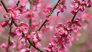 Prunus mume 'Beni-Chidori' video