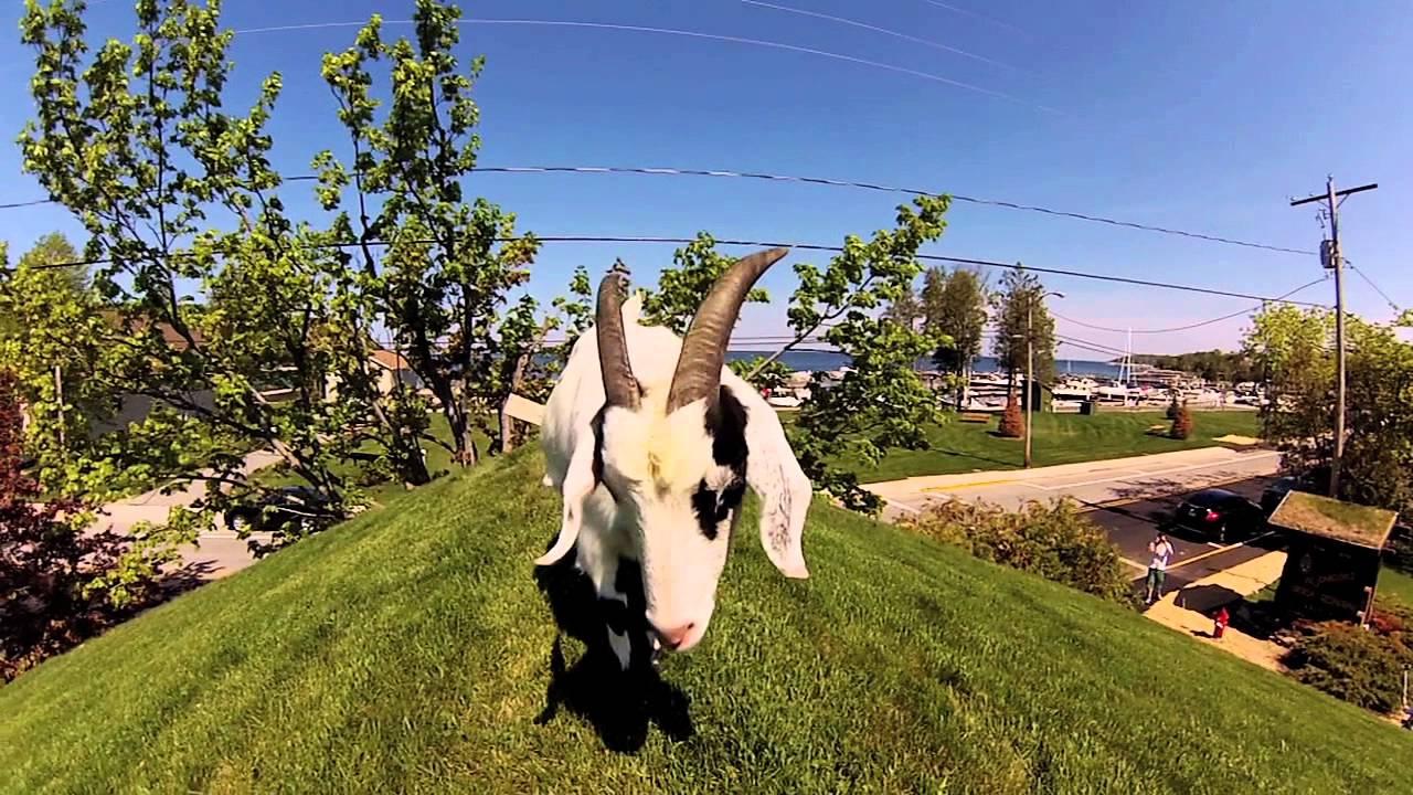 The Goats On The Roof Al Johnson S Swedish Restaurant