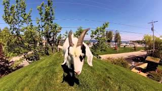 The Goats on the Roof – Al Johnson's Swedish Restaurant & Butik