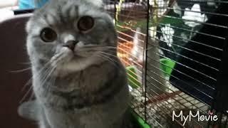 Крыса Дамбо атакует шотландского вислаухого кота