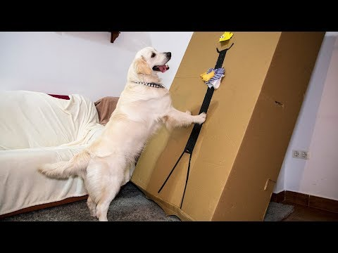 Golden Retriever vs Boxman Prank: Funny Dog Bailey