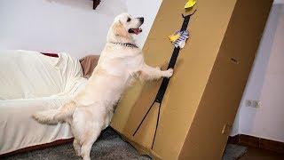 Golden Retriever vs Boxman Prank: Funny Dog Bailey