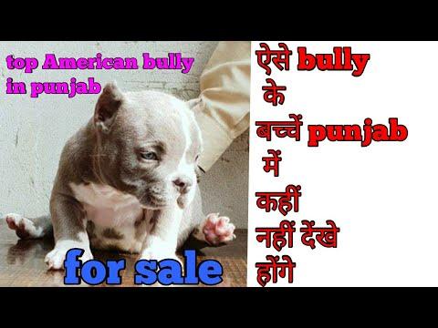 American bully micro pupps sale in punjab call 8968179681